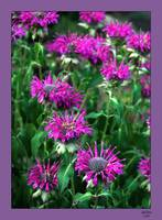 Bee Balm with Border