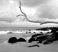 Hawaiian Beach Driftwood Tree Black and White
