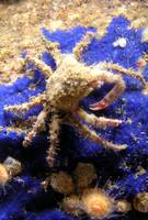 Decorator Crab 2
