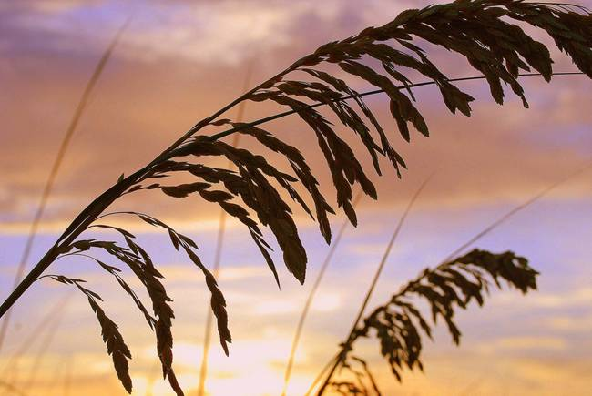 Sea Oats Sunset