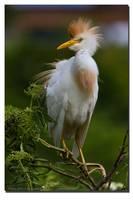 Cattle Egret, Breeding Plumage