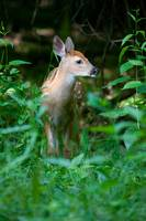 Whitetail Deer Fawn by Daniel Teetor
