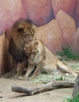 Lions in Love