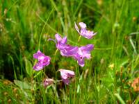 Grass pink orchid macro