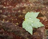 Maple Leaf with Raindrops