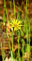 Arizona Wildflower - Yellow Salsify