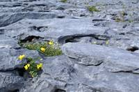 Burren Stone and Yellow Flowers