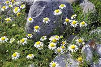 Burren Stone and Daisies