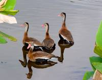 Blackbelly Whistling Ducks