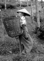 Lady In Tea Plantation B& W