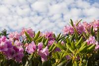 Rhododendron and Sky