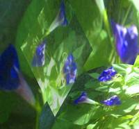 Shapes of Peace in MaMaw's Morning Glories-Shimmer