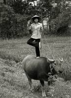 Vietnamese Countryside Water Buffalo (Ky Su)