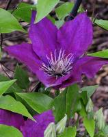 Trailing Clematis 7, Colorado