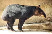 Mountain Tapir in profile