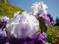 IRIS FLOWERS Purple Art Prints Irises Hillside