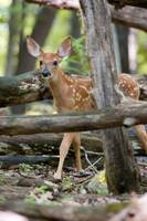 A Fawn Among the Blowdowns by Daniel Teetor