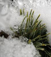 Pine Needles on Ice 018