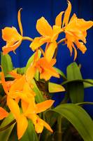 Yellow Orange Orchids with Blue Wall