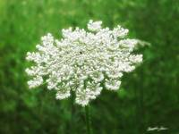Queen Annes Lace 1