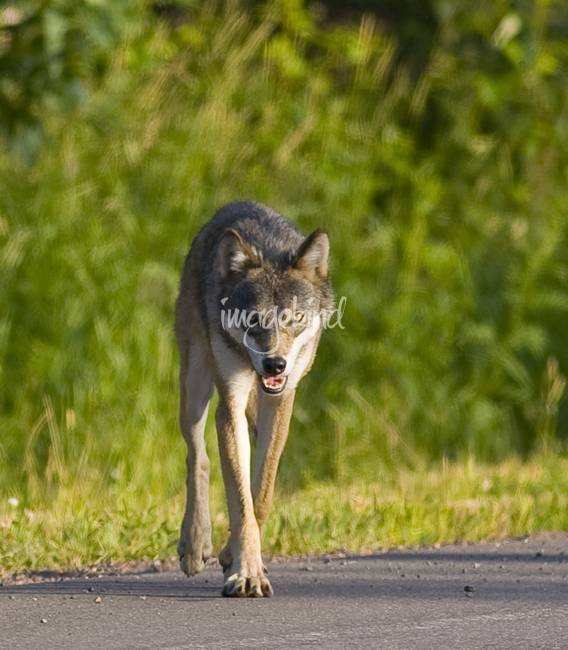 Timber Wolf Crossing Road