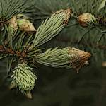 Pine by Deanne Flouton