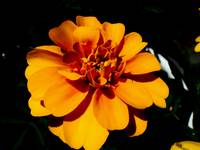 Orange flower with dark background
