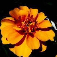 Orange flower with dark background Art Prints & Posters by Sarah Hanlon