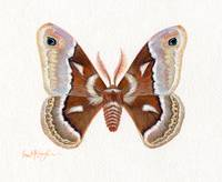 Glovers SilkMoth