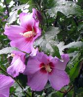 two pink rose of sharon flowers