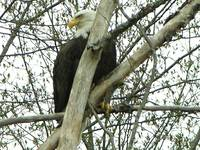 BALD EAGLE IN CLEMENTS CORNER