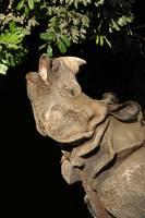 Great One-Horned Rhinoceros