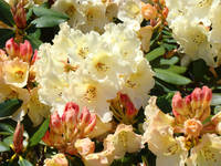 Rhodies Creamy Yellow Peach 3 Rhododendrums Art