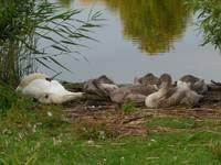 Mum and babies at Bedfont Lakes, Bedfont, UK