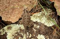 Desert Horned Lizard on Lichen Rock