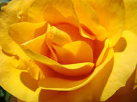 Roses Golden Orange Yellow Rose Flower 1 Art Gifts