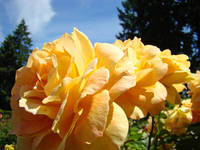 Rose Flowers Orange Yellow Roses 3 Rose Garden Art