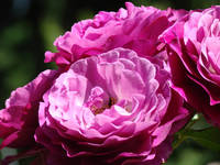 Rose Flowers Purple Pink Roses 1 Rose Garden Art