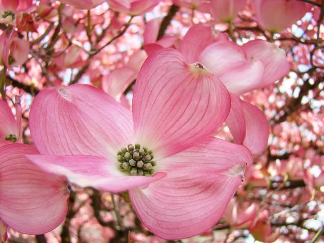 Dogwood flowers pink dogwood tree 1 giclee art by baslee troutman dogwood flowers pink dogwood tree 1 giclee art by baslee troutman fine art prints mightylinksfo
