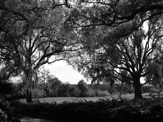 Stunning live oak trees artwork for sale on fine art prints for Fine art gallery online