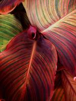 RAINBOWSTRIPED LEAVES SIGHNED