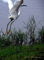 Snowy Egret Take Off