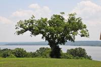 Oldest tree at Mt. Vernon
