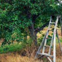Cherry Tree Ladder by Jacki Mroczkowski