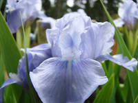 IRISES Light Blue Iris Flower 5 Spring Irises Artw