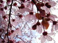 BLOSSOMS Pink Tree Blossoms 5 Blue Sky Landscape
