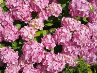 Pink Hydrangeas from an English country garden
