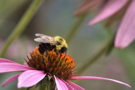 Bumble Bee (IMG_8293)