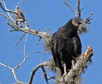 Juvenile Turkey Vulture