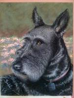 Molly the Scottish Terrier